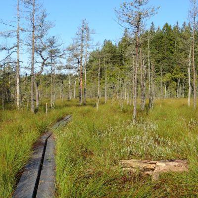 Pitkospuut keidassuon yli Kurjenrahkan kansallispuistossa.