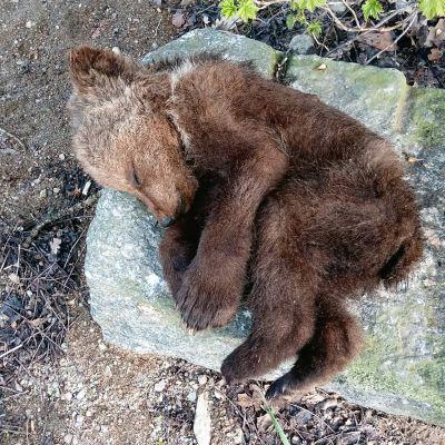Kuollut karhunpentu.