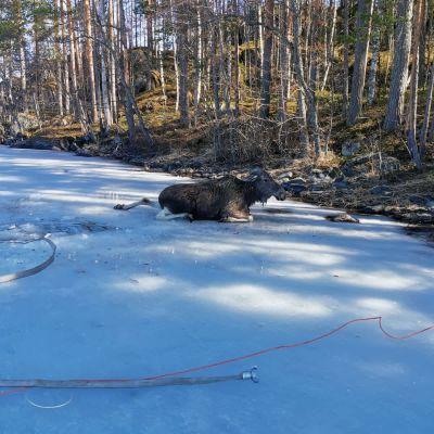 Jäistä pelastettu hirvi lepäämässä jäällä.