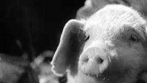Uudenmaan Lumottujärven puhuva sika.