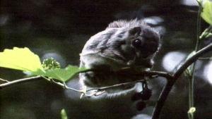 Liito-orava puussa syömässä