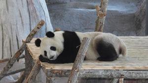 Pandan Lumi sover i Etseri.