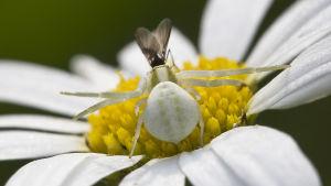 Kukkaravukkinaaras on valkoinen valkoisella kukalla.