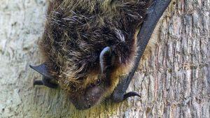 Pohjanlepakko (Eptesicus nilssonii)
