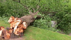 Storm blåste omkull träd på Strandgatan 7 i Vasa