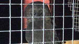 En svart uggla sitter i en bur.