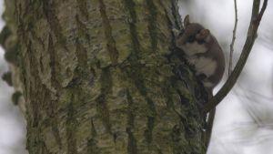 Tammihiiri puunrungolla