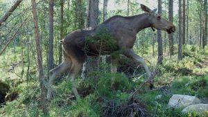 Hirvi metsässä.