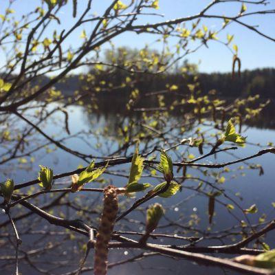 silmuja ja järvimaisema