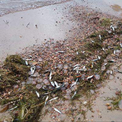 Döda fiskar på en strand.