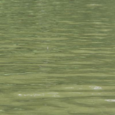 Vihreää Haapajärven vettä.