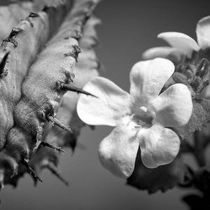 kaktus ja hento valkoinen kukka