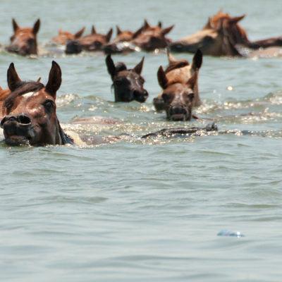 Hästar på Assateague Island.