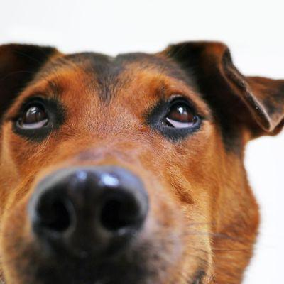 Ylöspäin katsova koira