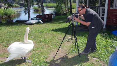 Jyrki Kasvi kuvaa kamerallaan joutsenta, joka poseeraa kesäisessä mökkipihassa noin metrin päässä kuvaajasta.
