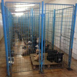 Koiria sullottuna häkkeihin Palladyn kunnallisella koiratarhalla Romaniassa
