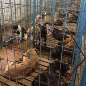 koiria sullottuina häkkeihin Palladyn kunnallisella koiratarhalla Romaniassa