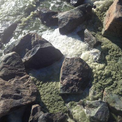 Alger har färgat strandvattnet och skummet grönt.