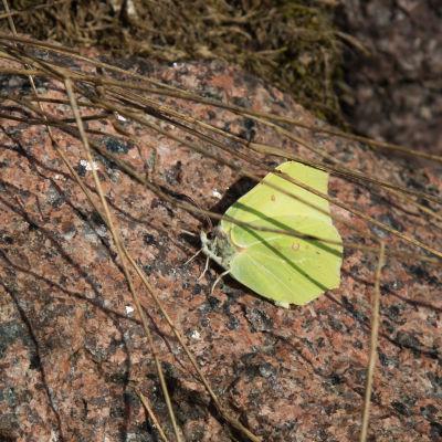 en fjäril på en sten