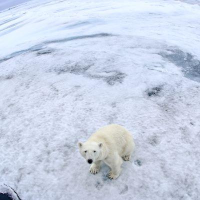 Jääkarhu katsoo kameraan