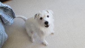 En liten vit hund sitter inomhus på en vit matta och tittar upp i kameran.