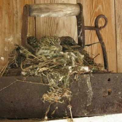 Kirjosieppo on tehnyt pesän vanhan silitysraudan päälle