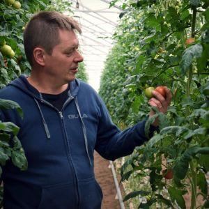 Johan Kinos ser på en tomat i sitt växthus.