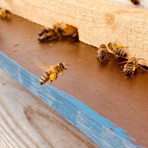 Mehiläinen lentää pesälleen jalkojensa vasut täynnä siitepölyä