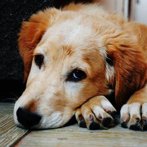 Koira katsoo surullisena kameraan.