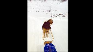 Koira vetää sinistä ahkiota lumisessa maisemassa