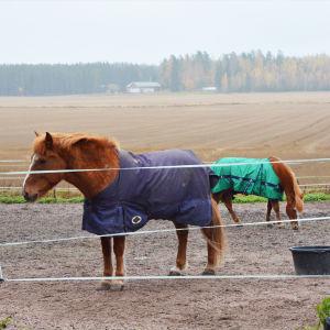 Två hästar står i en hage. Bakom dem syns en åker och skog.