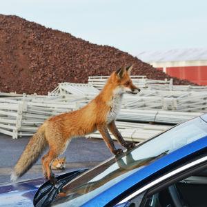 En räv står utanpå en bils vindruta.