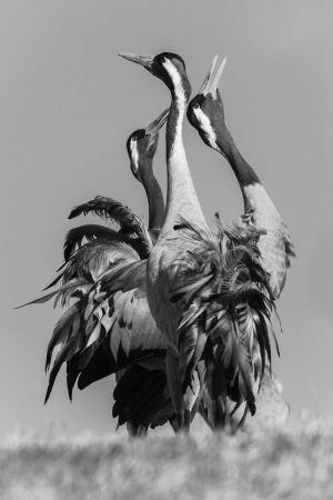 Ett svartvitt foto som föreställer tre tranor. De sträcker upp sina halsar.