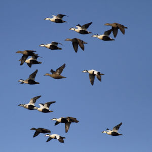ejdrar flyger