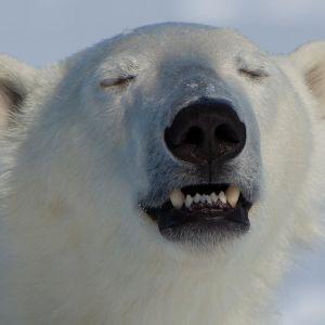 Nuori jääkarhu haistelee.