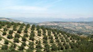 Oliivipuita rinteillä, Espanja
