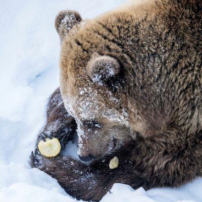 Malla-karhu Ranuan eläinpuistossa maaliskuussa 2018