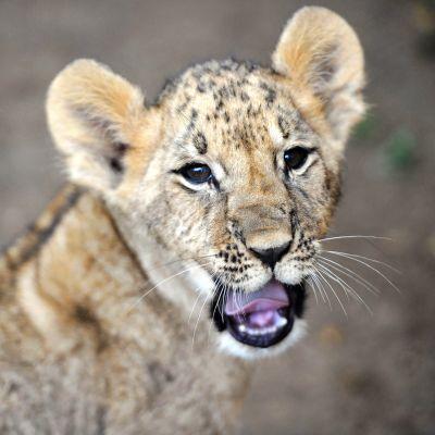 Leijonanpentu
