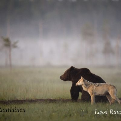 Karhu ja susi.