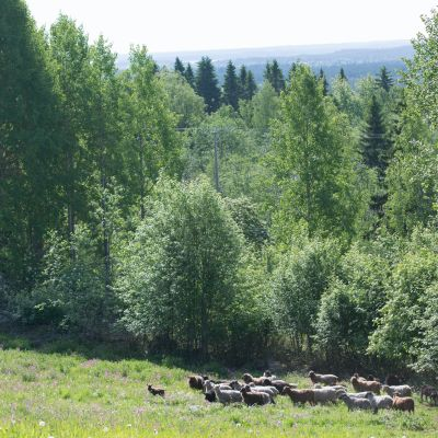 Kesäinen maisema, jossa puita ja lampaita.
