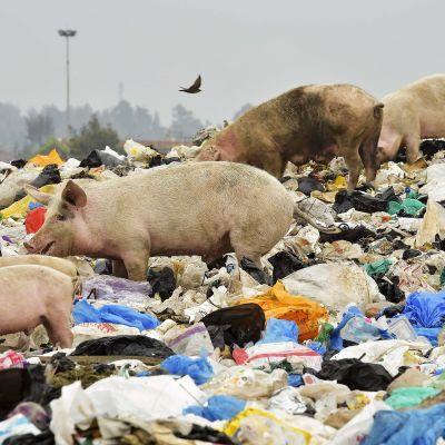 Sikoja tonkimassa jätteitä kaatopaikalla Nairobin lähellä. Muovipussikielto astui voimaan Keniassa 28. elokuuta.