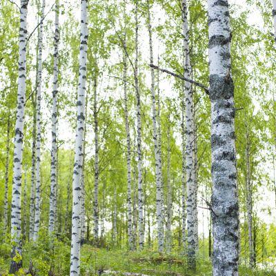 Alkukesän koivumetsää. Kaavilainen Veijo Tirkkonen on harventanut tätä koivumetsää kerran 40 vuoden aikana.
