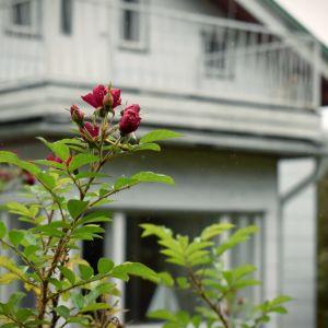 En sensommarros knoppar i ett höstigt landskap. Ett vitt hus med balkong suddigt i bakgrunden.