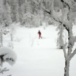 Luonnontilaisen metsän kauneus on matkailun myyntivaltti. Hiihtäjä Sallatuntureiden välisellä Natura-alueella joulukuussa 2019.
