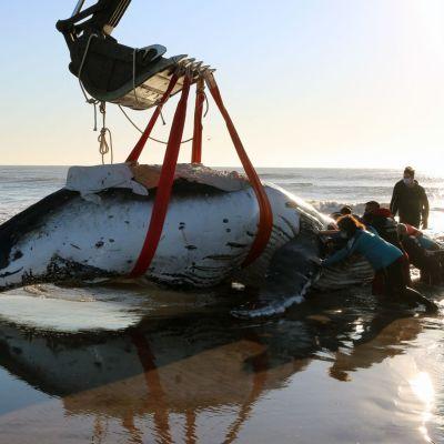 Rantautunutta ryhävalasta pelastetaan traktorin kauhaan kiinnitettyjen hihnojen avulla.
