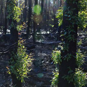 Vihreitä lehtiä hiiltyneessä metsässä.