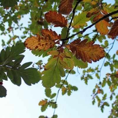 Puun lehtiä ruskan väreissä.
