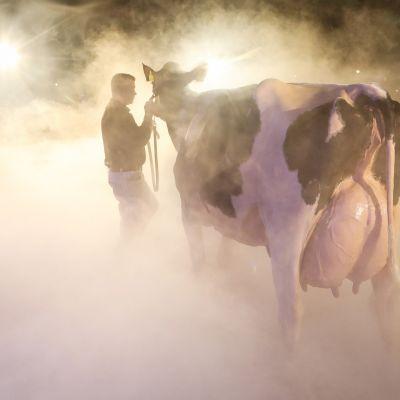 Lehmää talutetaan näytteille lehmien kauneuskilpailuissa.