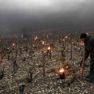 Viiniköynnöksiä lämmitettiin kynttilöin Chablis'ssa, Ranskassa 21. huhtikuuta.