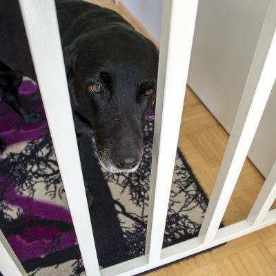 Koira katselee portin takaa